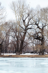 Grove with the oldest relic poplars on the banks of the river