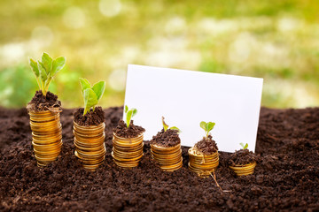 growing money plant in soil