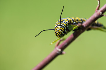 Monarch butterfly caterpillar feeding on garden milkweed. Natural green background with copy space.