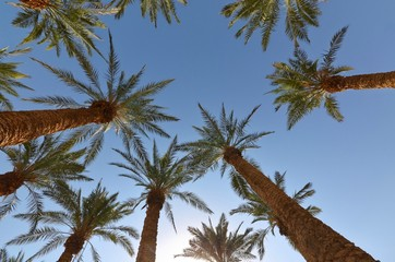 Palm Trees from below