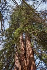 Tronco di quercia secolare