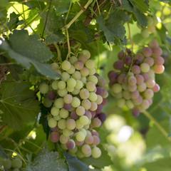 Grapes hanging on vine, Dunhuang, Jiuquan, Gansu Province, China