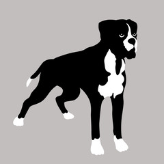 Boxer Dog realistic vector illustration