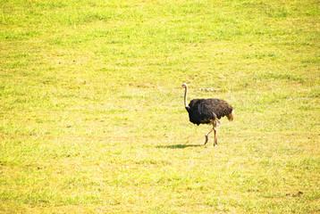 Ostrich in Cabarceno, Spain