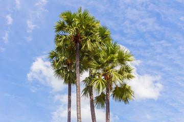 Sugar Palm or Toddy Palm.