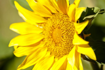 Sunflower with bees in summer.