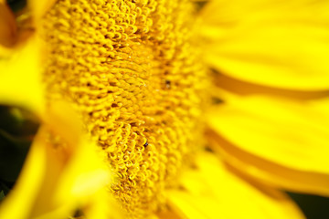 Macro of the a Sunflower in summer. Horizontal take with natural light.
