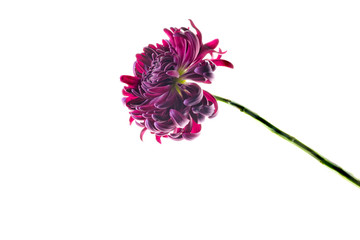 Single purple chrysanthemum, studio shot