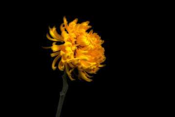 Single yellow chrysanthemum, studio shot