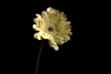 Single pale yellow gerbera, studio shot