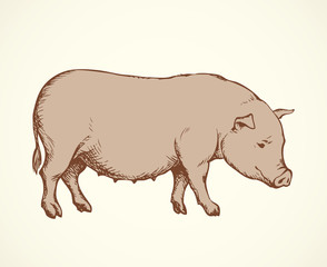 Pig. Vector drawing