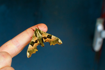 Un papillon sur le doigt