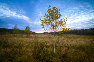 Autumn birches in the field scenery on morning with the forest in the background