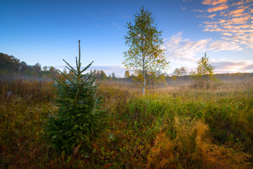 Autumn spruce and birches in the field scenery on morning with the forest in the background