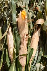 Autumn scene of green corn stalks with corn