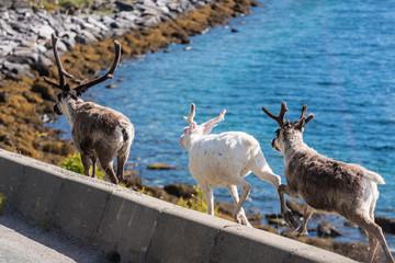 Reindeers in Finnmark, Norway.