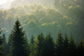 Fotorolgordijn Khaki spruce forest on foggy sunrise in mountains
