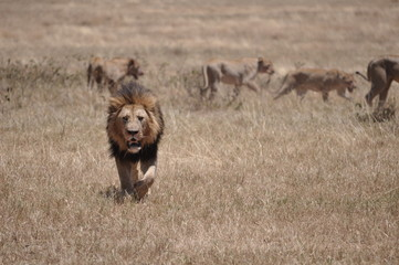 Lion King walking away from fresh kill