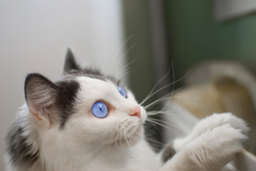 cat with blue eyes showing interest