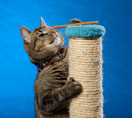 Cat climb up on a scratching pillar to receive cat treats in front of a blue background