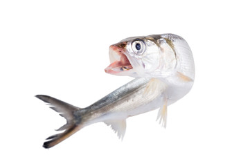 Fish Ladyfish  bent with his mouth open and dynamic. Isolated o