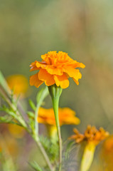 Closeup tagetes flower in the garden