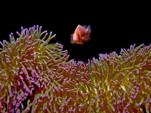 Pink Anemonefish Manta Ray Bay, Yap