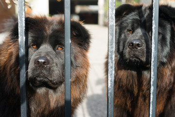 Chow Chow Dogs Purebred Dog Breed Metal Gate