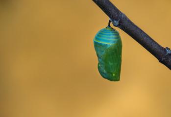 Monarch butterfly pupae development on milkweed branch