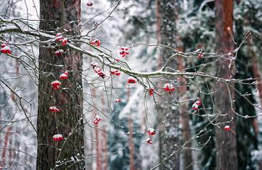Rowan Branch In Winter Forest