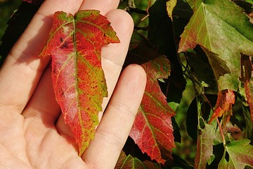 Autumn leaves of Amur Maple Acer Ginnala, one held in adult male hand