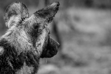 Starring African wild dog from behind.
