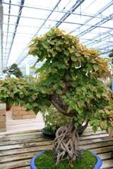 Bonsai tree / Tree in the form of bonsai garden in Switzerland