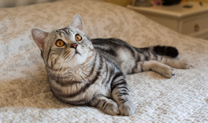 Cute American shorthair cat kitten