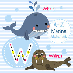 W letter tracing. Whale. Walrus. Cute children sea marine alphabet flash card. Funny cartoon animal. Kids abc education. Learning English vocabulary. Vector illustration.