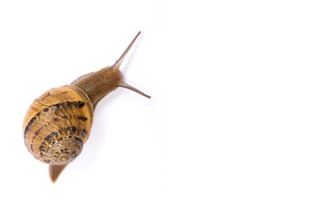 Snail isolated in white background with copy space