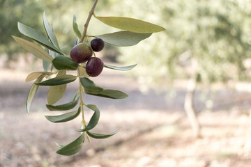 Olive tree branch and fruits