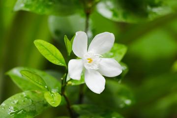 White inda flower