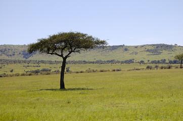 Acacia Tree - Masai Mara - Kenya