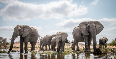 Fotorolgordijn Olifant Drinking herd of Elephants.