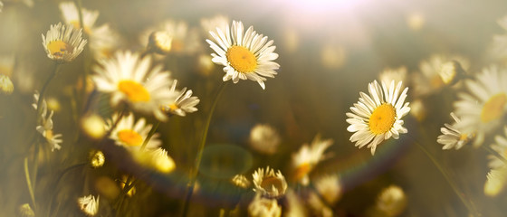Daisy flower in meadow - beautiful nature in spring