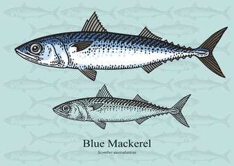 Blue Mackerel. Vector illustration for artwork in small sizes. Suitable for graphic and packaging design, educational examples, web, etc.