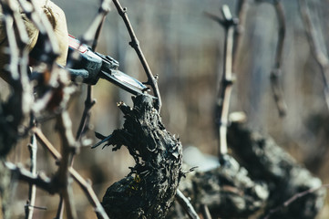 taille hivernale de la vigne