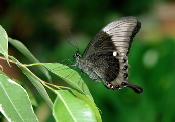 Beautiful elegant butterfly