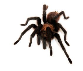 Oklahoma Brown Tarantula isolated on white