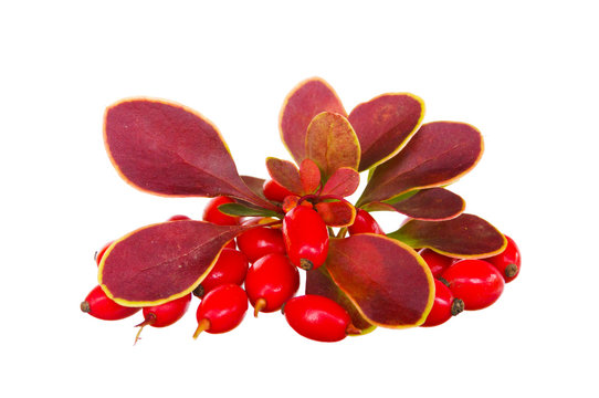 Berberis thunbergii Autumn composition leaves and berries. Berberis thunbergii (Latin Berberis thunbergii Coronita). Barberry, red berries and leaves on white background