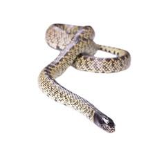 Snake Lampropeltis getula splendida Isolated