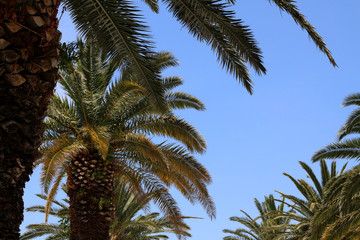 Big beautiful palm trees and bright blue sky.