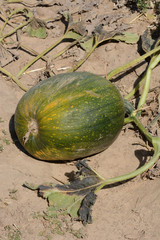 Autumn green pumpkin growing on the vine in agricultural field