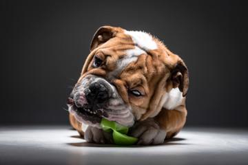 Cute English bulldog pup
